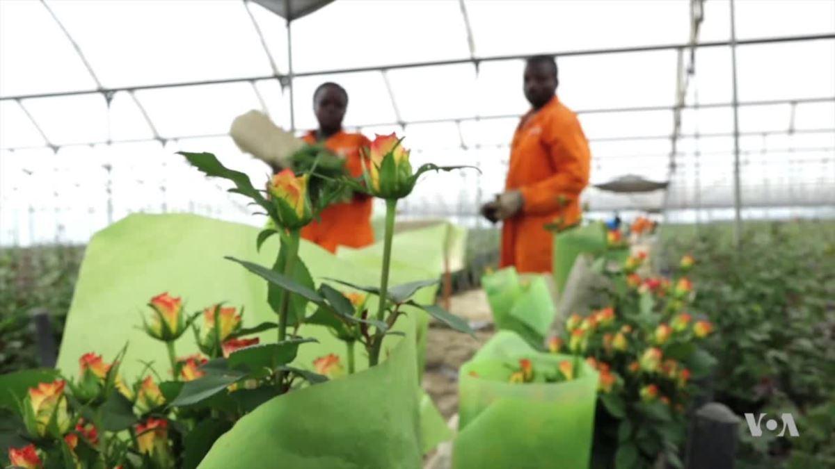 Kenya's Flower Industry Grows