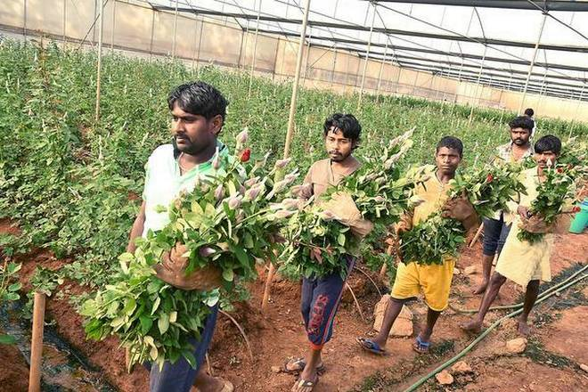 A thorny Valentine season for rose growers in Hosur