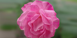 New genetic details may help roses come up smelling like, well, roses