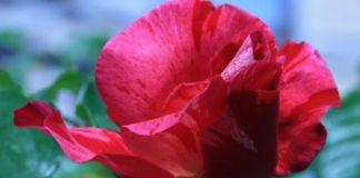 Genetic secrets of the rose revealed
