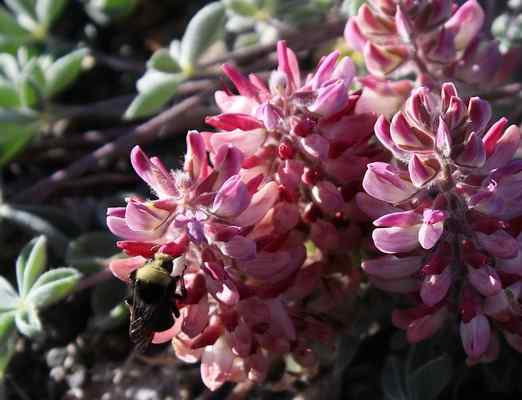 Facing extinction, Lassics lupine flower listed as endangered species in California