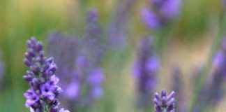 Long for a lavender plant? Chicago Botanic Garden has tested a few for cold-weather hardiness
