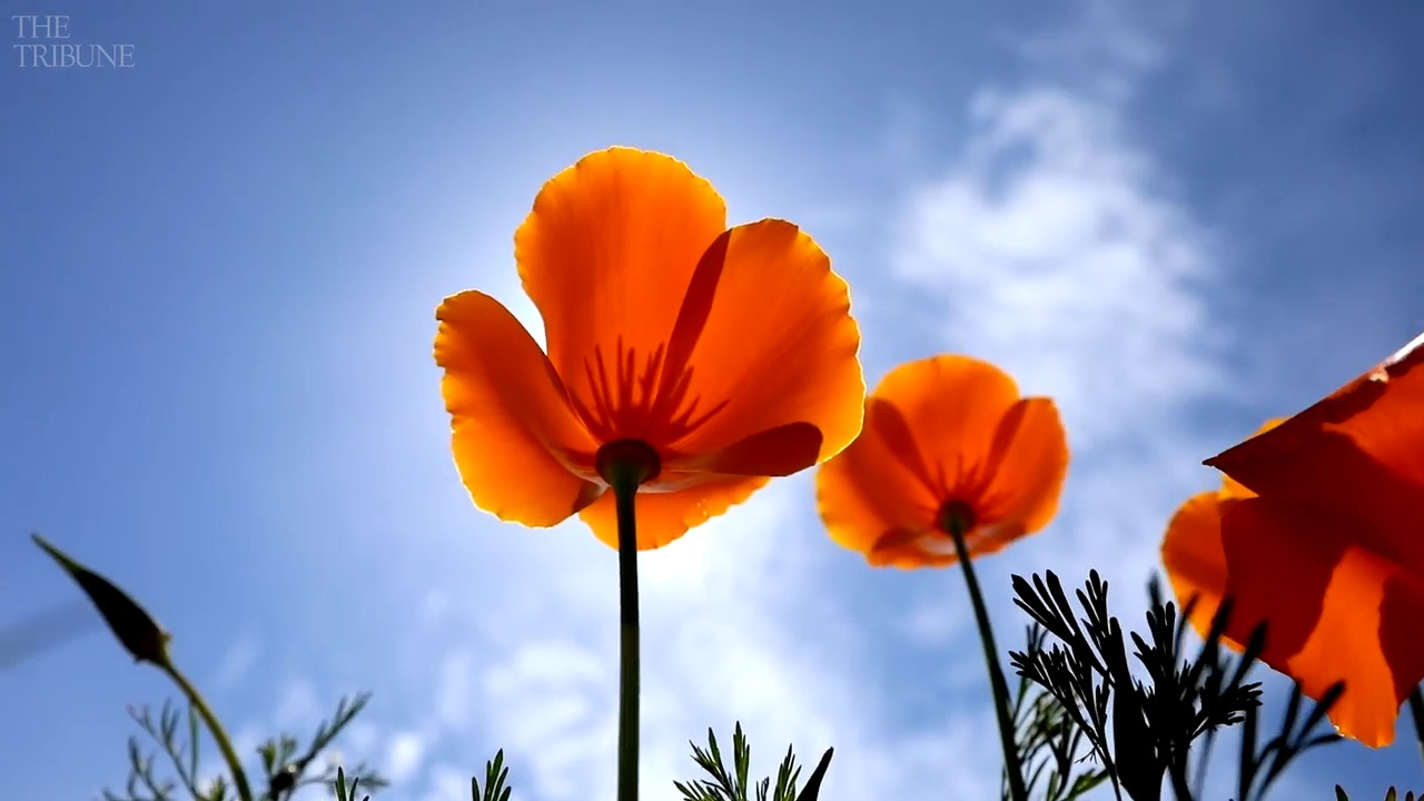 California's state flower has its own holiday — here's when to show your poppy love | The Tribune