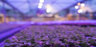 US (TX): Fern grower gains 15% productivity with LEDs