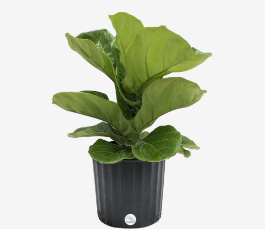 I Bought a Fiddle-leaf Fig From the New Amazon Plants Store