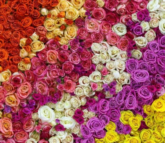 Scientists Figure Out Why Roses Don't Smell as Good as They Used To
