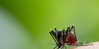 A native Australian plant may hold the key to developing a potential treatment for dengue virus, researchers say