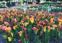 On the Go with Joe at Lily Flower Fest