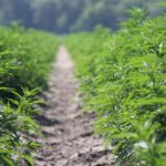 Hemp — pilot to profit: Plant related to marijuana has big potential