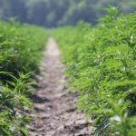 Hemp — pilot to profit: Plant related to marijuana has big potential