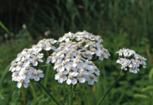 Yarrow: A common flower and healing herb