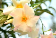 On Gardening: Sun Parasol mandevillas celebrate 15 years of stunning tropical flower color