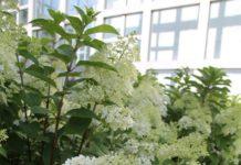 Plant of the week: Bobo panicle hydrangea
