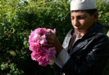 Roses instead of opium: Afghan farmers enjoy sweet smell of success