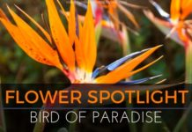 Flower Spotlight: Bird of Paradise