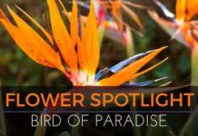 Flower Spotlight: Bird of Paradise
