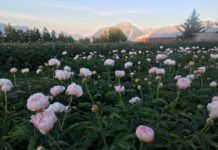 During American Grown Flowers Month, You Can't Miss Alaskan Peonies