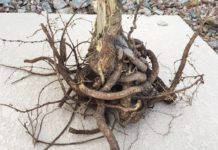 Check for girdling roots when choosing plant at nursery