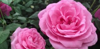 Rose fragrance spans history, but not every bloom has scent