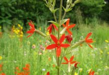 Royal Catchfly's scarlet flowers catch eyes
