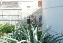 Gardening: Agave flower stalks stand tall in the plant kingdom