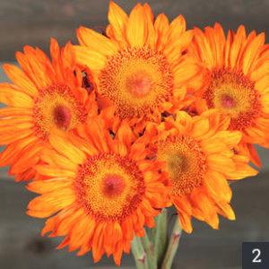Sunflower Nation