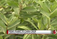 Pesky plant to cash crop