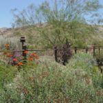 Fast and Floriferous: A blooming palette for desert flower borders