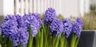 Gardening: Easy-growing Dutch hyacinths bring perfume to spring flower bed