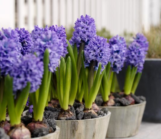 Gardening: Easy-growing Dutch hyacinths bring perfume to spring flower bed