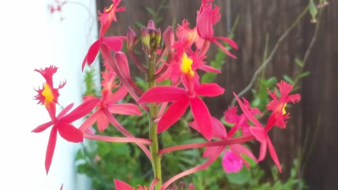 Love orchids? This butterfly-friendly plant is perfect for beginners