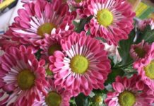 All about fall mums: Types of flowers, surviving the winter
