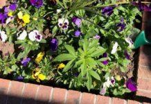 Pranksters put marijuana in public flower pots. Clueless city workers tended it.
