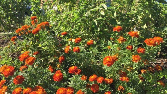 Plant these herbs, flowers to get rid of mosquitoes in your yard